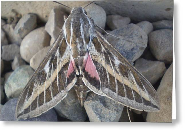 Moth Pyrography Greeting Cards - Morning Moth Greeting Card by Heather Jack