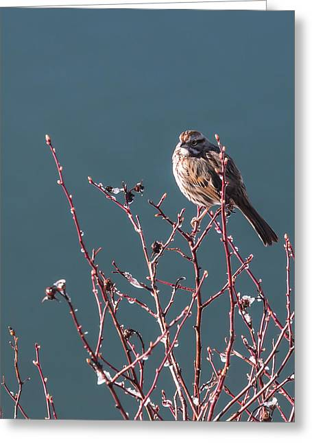 Recently Sold -  - Willow Lake Greeting Cards - Morning Sparrow Greeting Card by Jan Davies