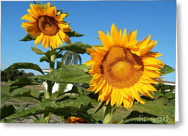 Farm Stand Greeting Cards - Morning Sunflowers Greeting Card by To-Tam Gerwe