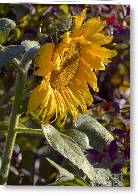 Sunlight On Flowers Greeting Cards - Morning Sunshine Greeting Card by Sharon  Talson