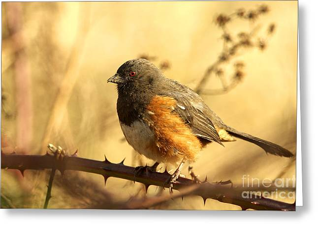Sparrow Greeting Cards - Morning Towhee Greeting Card by Sharon  Talson