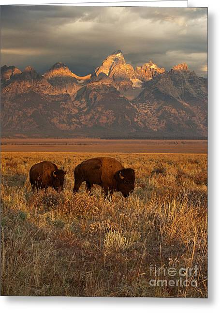 Buffalo Greeting Cards - Morning Travels in Grand Teton Greeting Card by Sandra Bronstein