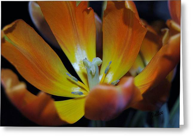 Pestal Greeting Cards - Morning Tulip Greeting Card by Vallee Johnson
