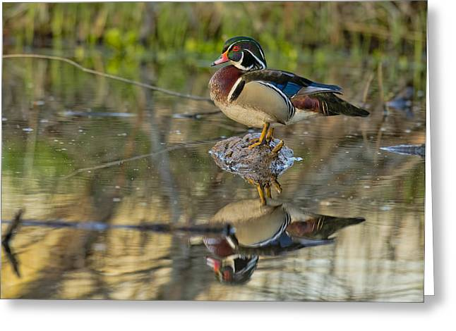 Wood Duck Greeting Cards - Morning Wood Duck Greeting Card by Donna Caplinger