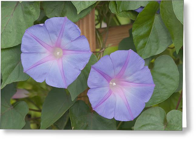 Morning's Glory Greeting Card by Kim Hojnacki