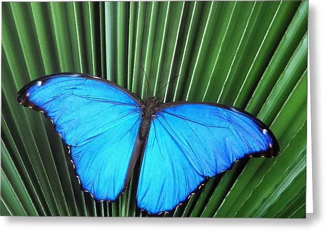 Robert Jensen Greeting Cards - Morpho Butterfly on Fan Palm Greeting Card by Robert Jensen