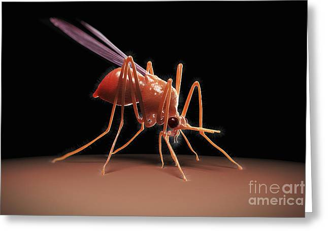 Vector Image Photographs Greeting Cards - Mosquito Anopheles Greeting Card by Science Picture Co