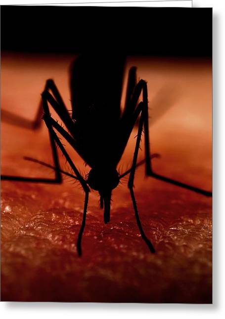 Eating Entomology Greeting Cards - Mosquito biting a human Greeting Card by Science Photo Library