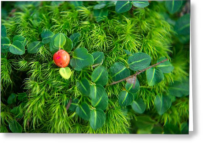 Magnoliopsida Greeting Cards - Moss and Wintergreen Greeting Card by Douglas Barnett