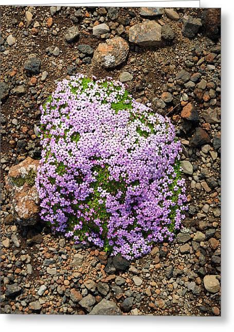 Cushion Greeting Cards - Moss campion Silene acaulis pink flowers in Iceland Greeting Card by Matthias Hauser
