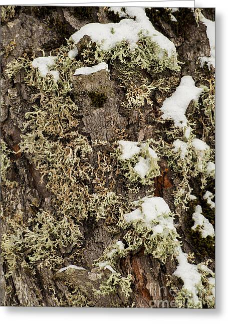 Oregon Greeting Cards - Moss in Snow Greeting Card by Mandy Judson
