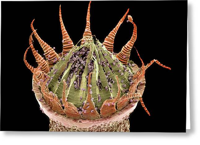 Moss Spore Capsule Greeting Card by Natural History Museum, London