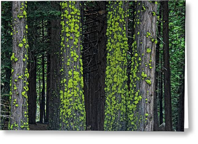 Mossy Trees Greeting Cards - Mossy Sentinels Greeting Card by Donna Blackhall