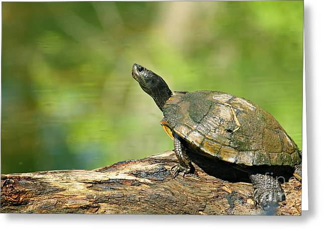 Wild Greeting Cards - Mossy Turtle Greeting Card by David Cutts