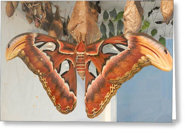 Cocoon Greeting Cards - Moth Butterfly Greeting Card by Elizabeth LaFond