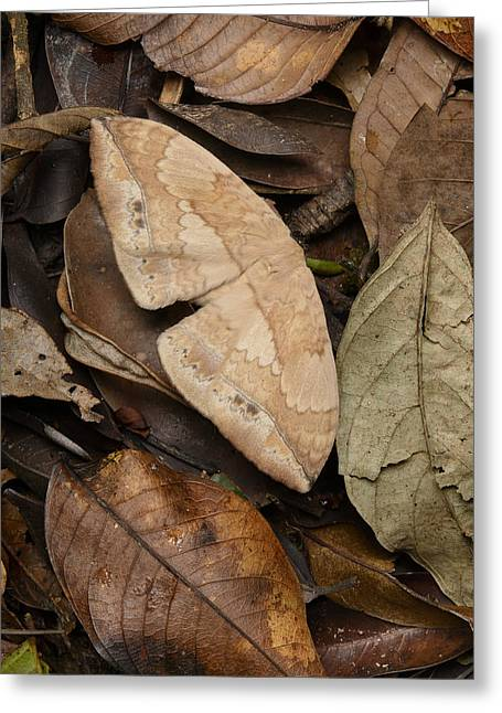 Moth Camouflaged Against Leaf Litter Greeting Card by Ch'ien Lee
