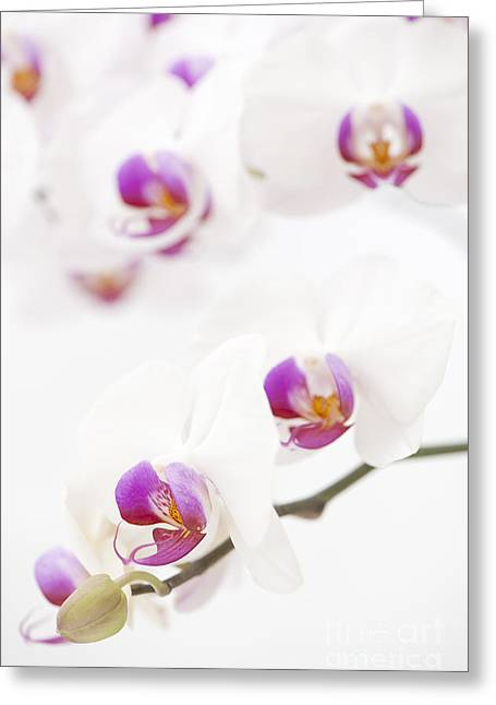 Close Focus Floral Greeting Cards - Moth Orchid Greeting Card by Anne Gilbert