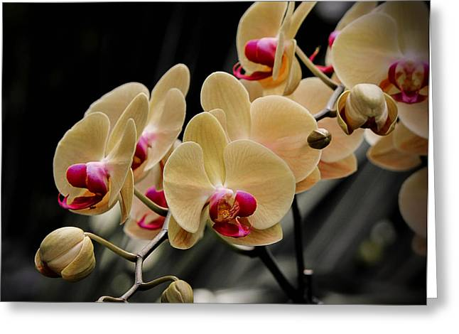 Herbage Greeting Cards - Moth Orchid Greeting Card by Mountain Dreams