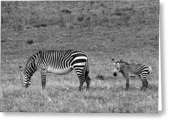 Zebra Greeting Cards Greeting Cards - Mother and Baby Greeting Card by Chris Whittle