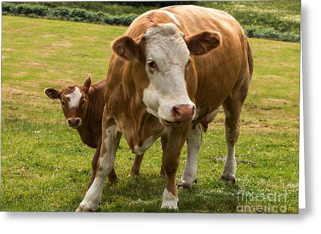 Lifestock Greeting Cards - Mother and Baby Cow Greeting Card by Iris Richardson