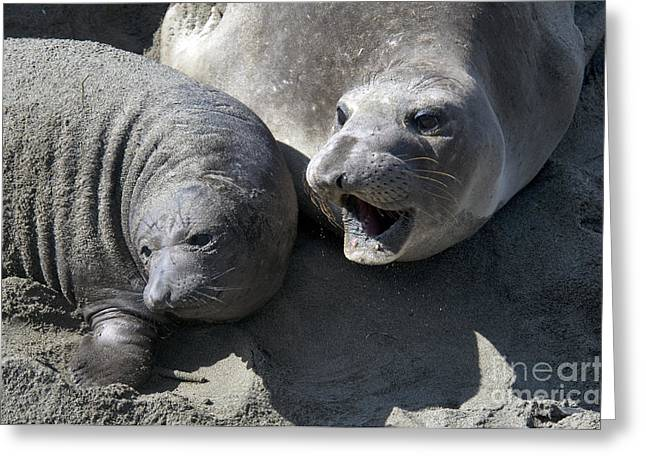 Elephant Seals Greeting Cards - Mother And Baby Elephant Seal Greeting Card by Mark Newman