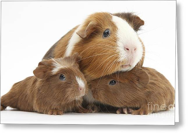 House Pet Greeting Cards - Mother And Baby Guinea Pigs Greeting Card by Mark Taylor