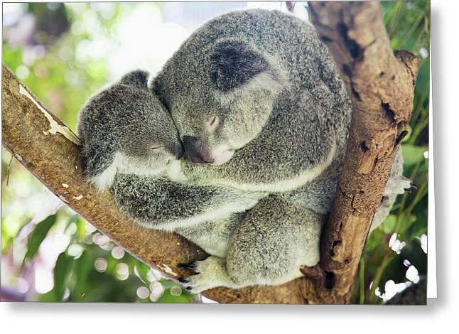 Mother And Baby Koala Bears Greeting Card by John Short