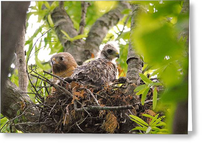 Red Shouldered Hawk Greeting Cards - Mother and Baby Red Shouldered Hawk Greeting Card by Jai Johnson