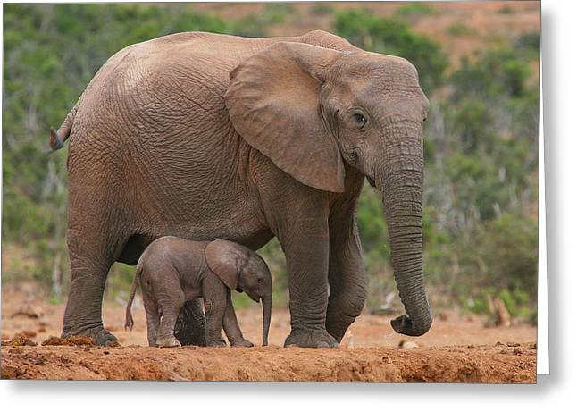 African Elephants Greeting Cards - Mother and Calf Greeting Card by Bruce J Robinson