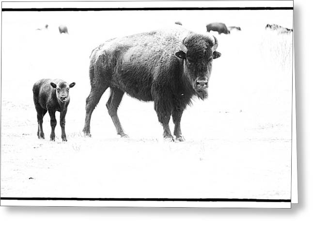 Bison Photos Greeting Cards - Mother Bison and her Calf Greeting Card by Melany Sarafis
