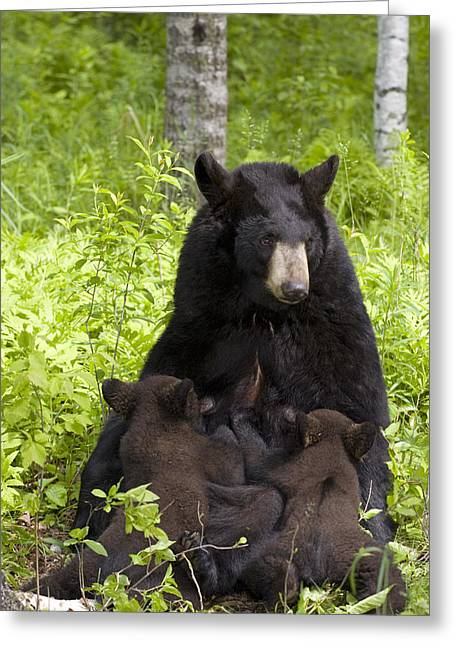 Eat Free Greeting Cards - Mother Black Bear Nursing Spring Cubs Greeting Card by Michael DeYoung