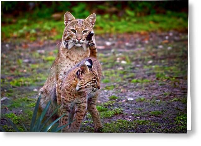 Bobcat Kitten Greeting Cards - Mother Bobcat and Kitten Greeting Card by Mark Andrew Thomas