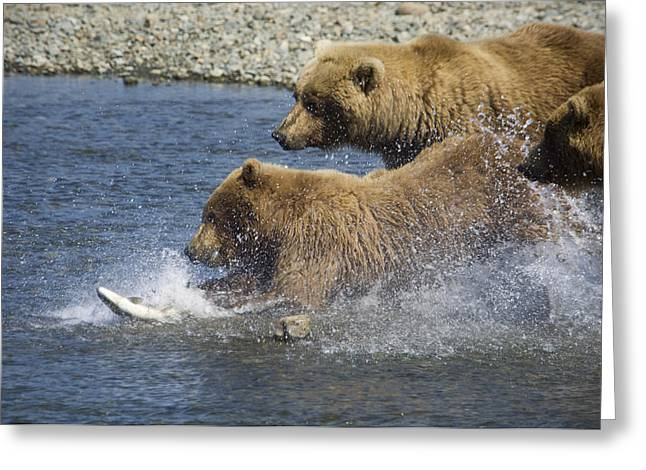 Fishing Creek Greeting Cards - Mother Brown Bear And Her Cubs Chase Greeting Card by Greg Hensel