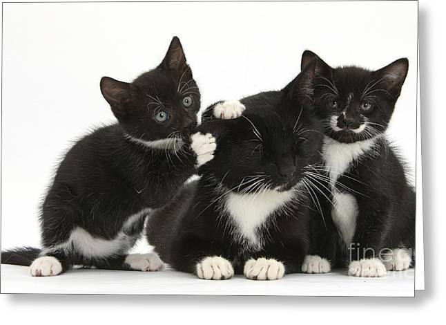 Tuxedo Greeting Cards - Mother Cat With Two Kittens Greeting Card by Mark Taylor