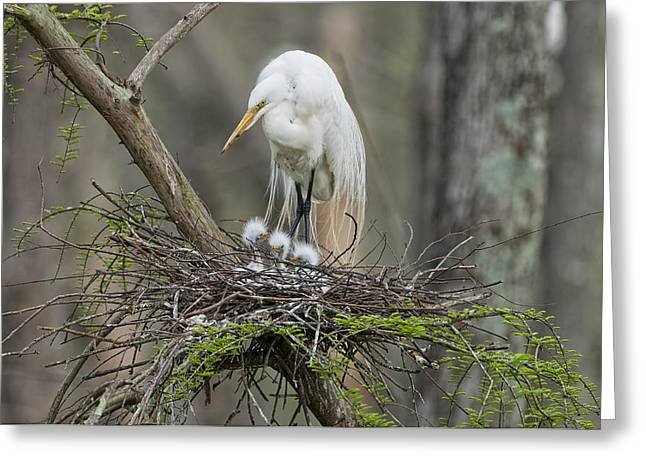 Great Mother Greeting Cards - Mother Egret and Chicks Greeting Card by Bonnie Barry