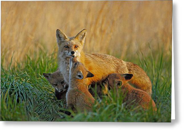 Fox Cubs Greeting Cards - Mother Fox and Kits Greeting Card by William Jobes