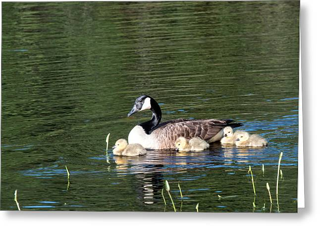Ducklings Mixed Media Greeting Cards - Mother Goose and Babies Greeting Card by Michelle Trull