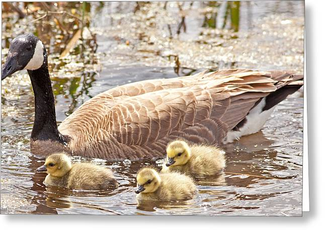 Mother Goose Greeting Cards - Mother Goose and Goslings Greeting Card by Natural Focal Point Photography