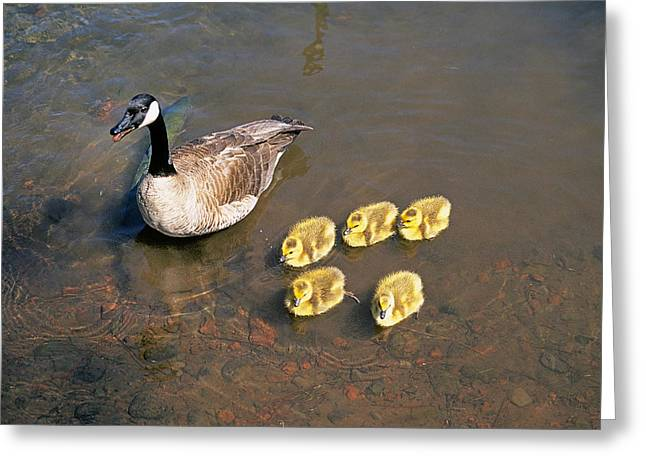 Mother Goose Greeting Cards - Mother Goose Greeting Card by Buddy Mays
