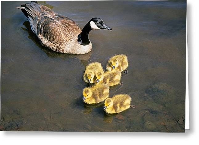 Mother Goose Greeting Cards - Mother Goose II Greeting Card by Buddy Mays