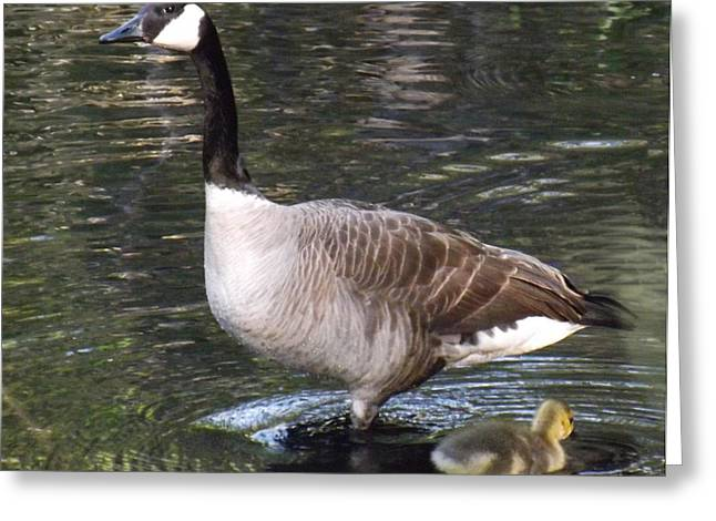 Mother Goose Greeting Cards - Mother Goose is watching Greeting Card by Brenda Brown