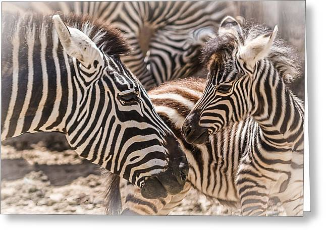 Zebra Colt Greeting Cards - Mother Love Greeting Card by Yeates Photography