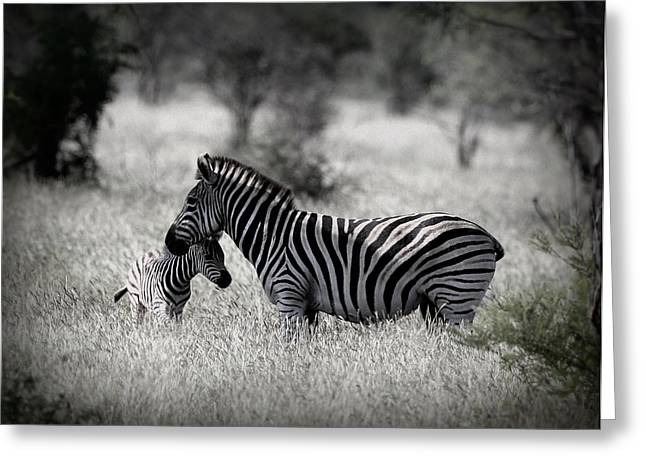 Zebra Colt Greeting Cards - Mother Of Stripes Greeting Card by David Fitzhugh