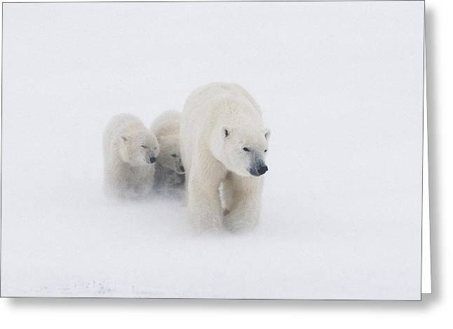 Snowstorm Greeting Cards - Mother Polar Bear & 2 Cubs In Snow Greeting Card by Kenneth Whitten