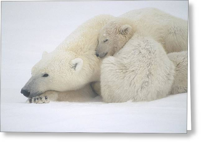 Snowstorm Greeting Cards - Mother Polar Bear & Cub Huddle In Snow Greeting Card by Kenneth Whitten