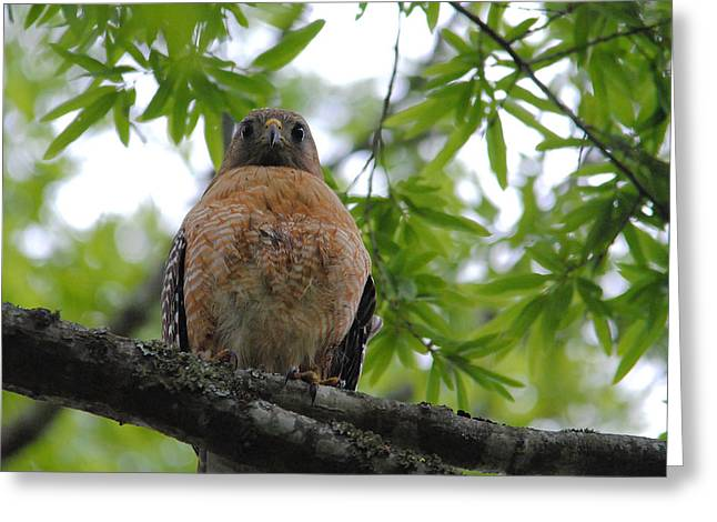 Red Shouldered Hawk Greeting Cards - Mother Red Shouldered Hawk Greeting Card by Jai Johnson