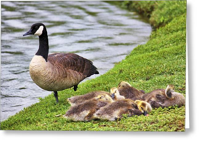 Mother Goose Greeting Cards - Mother with Goslings Greeting Card by Jason Politte