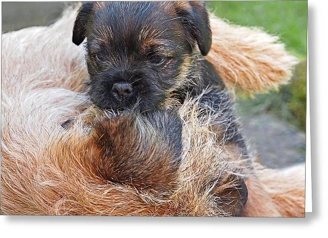 Happy Puppy Greeting Cards - Mothers Love - Border Terrier Greeting Card by Gill Billington