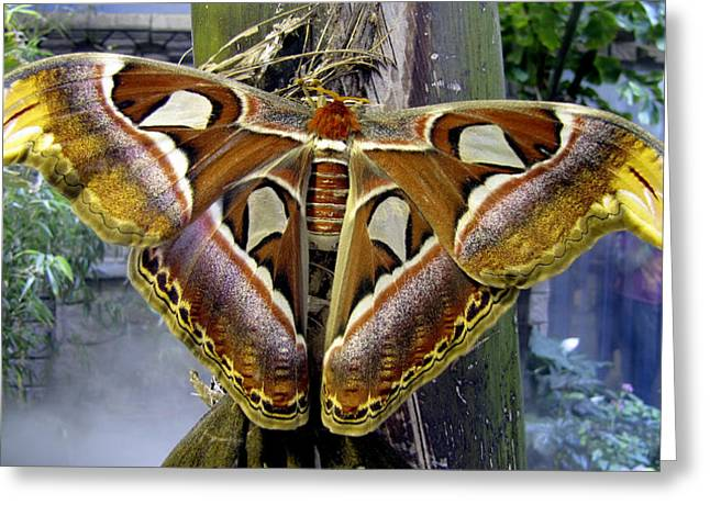 Orange And Brown Winged Greeting Cards - Mothra Greeting Card by Bob Slitzan