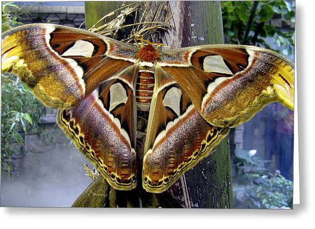 Atlas Moth Greeting Card by Bob Slitzan